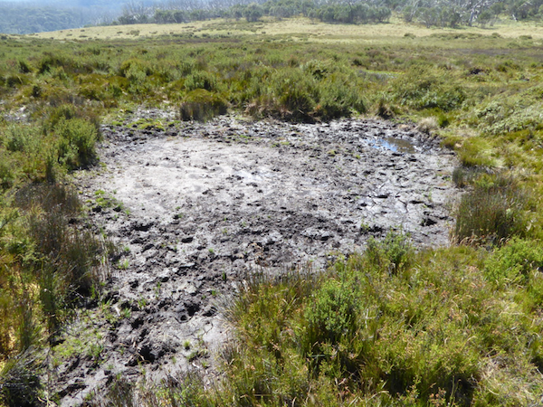 Horses create bogs and destroy wetland habitat. Credit: Reclaim Kosci.